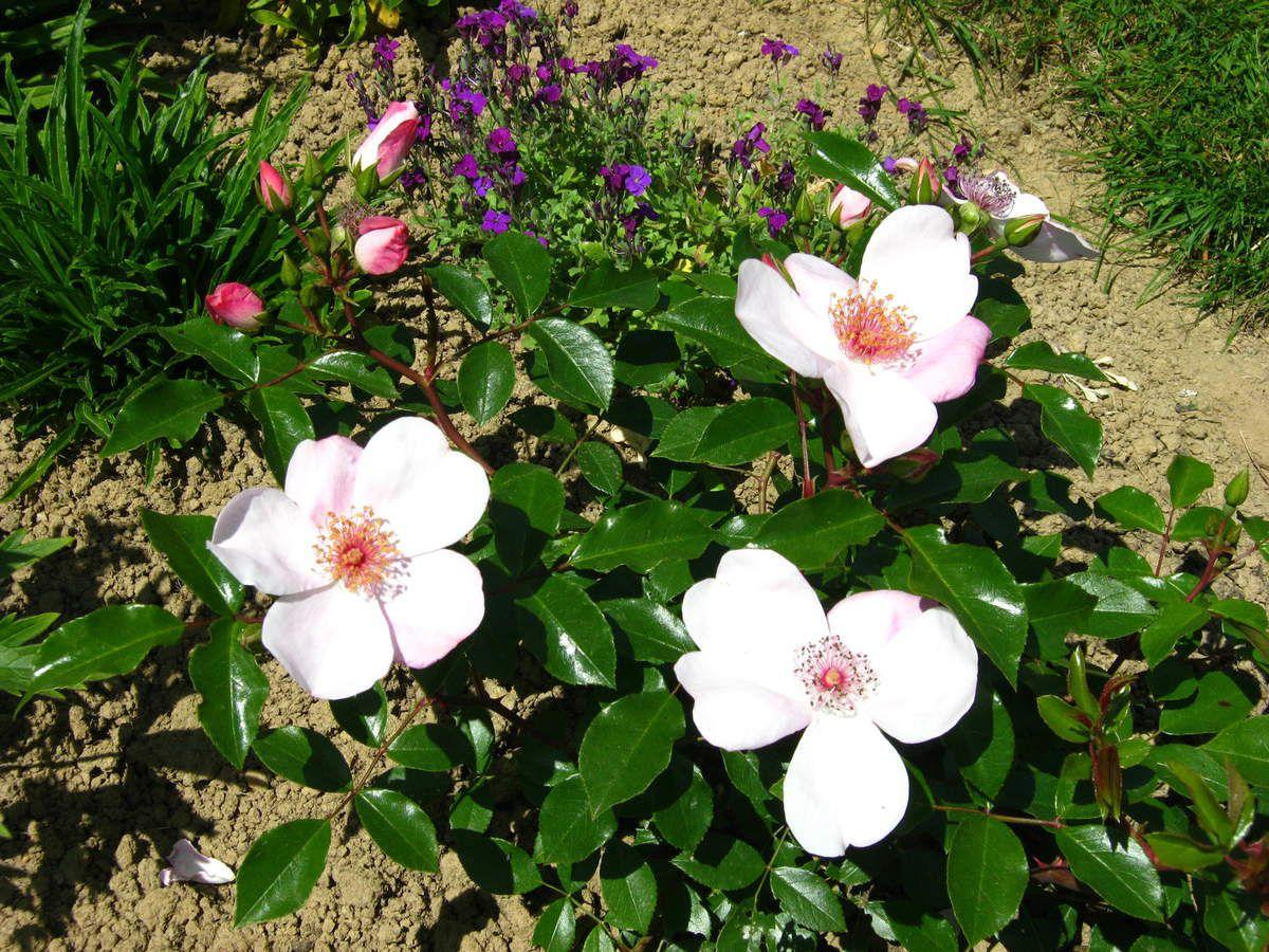 1ère floraison en mai 2015