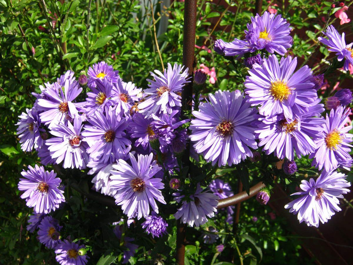 Aster 'Eventide'