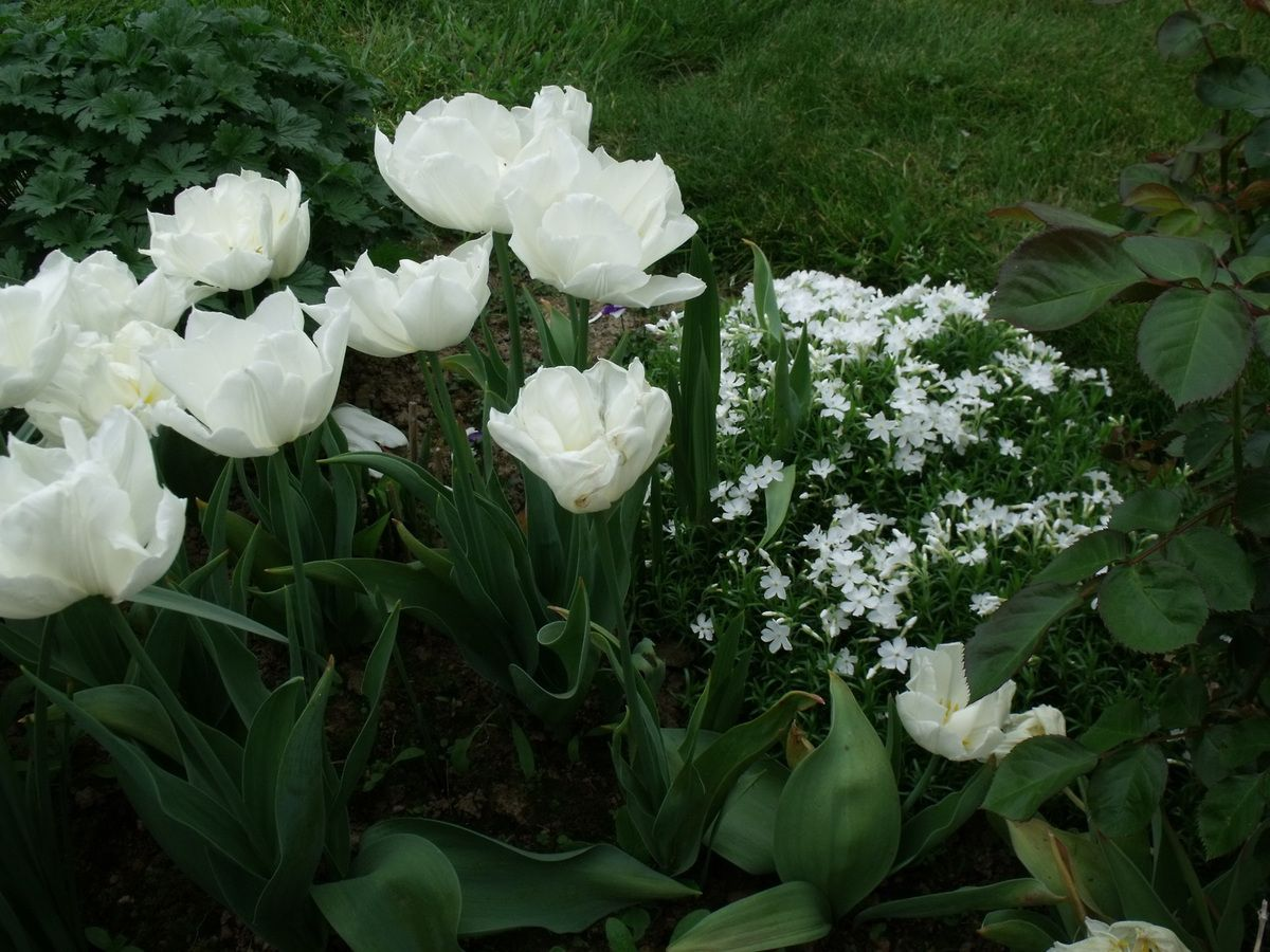 Tulipes 'Mondial' et Phlox subulata 'White Delight'