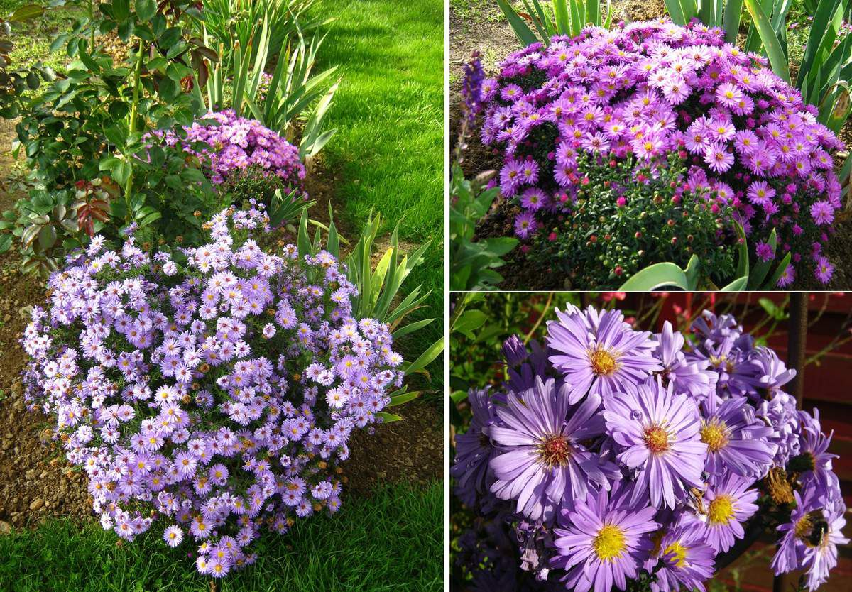Aster dumosus 'Lady in Blue' et 'Rosenwichtel'