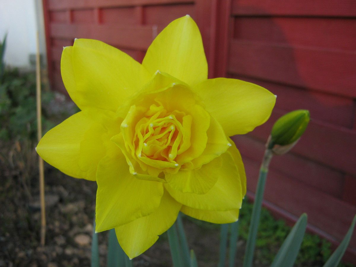 Narcisses 'Golden Ducat'