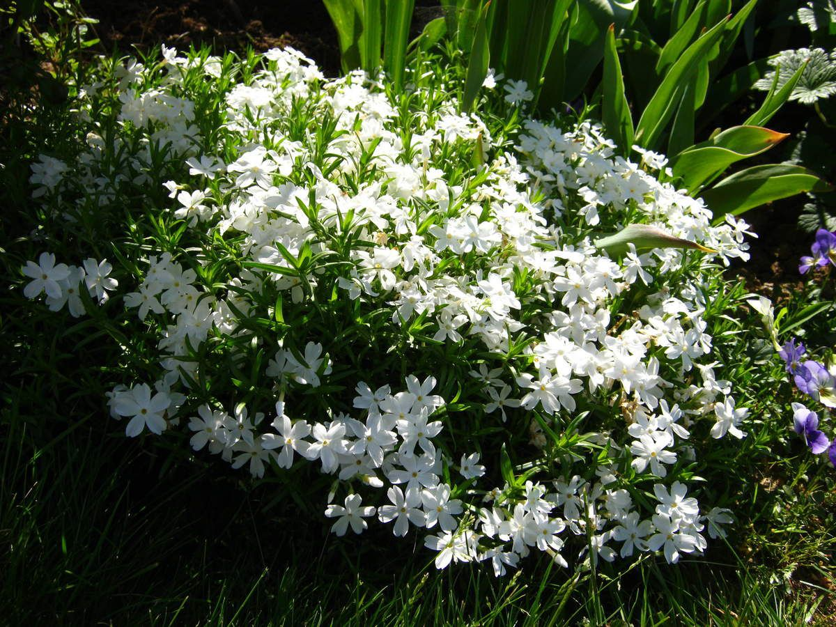 Phlox-mousse 'White Delight'