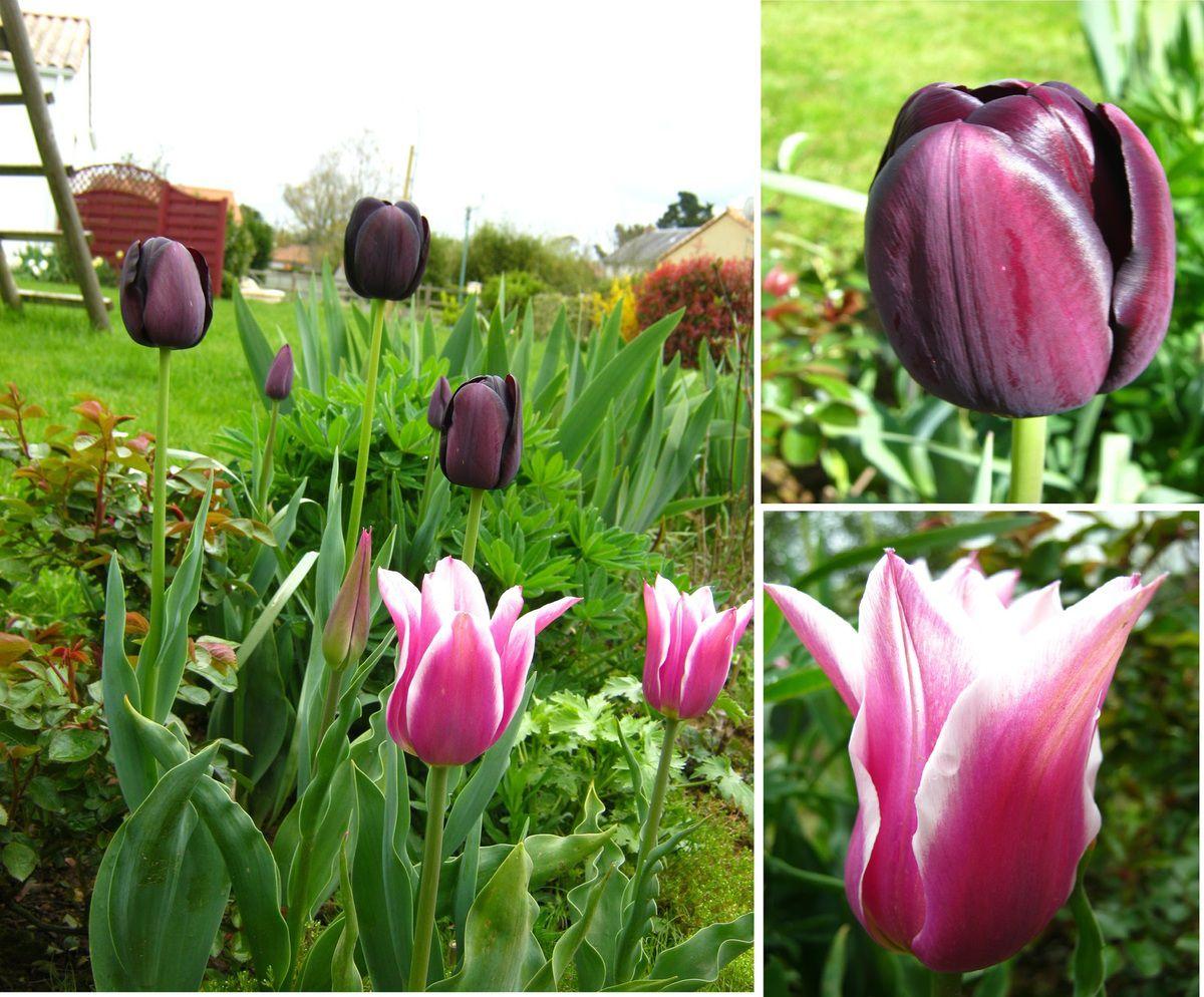 Tulipes 'Ballade' et 'Reine de la Nuit'