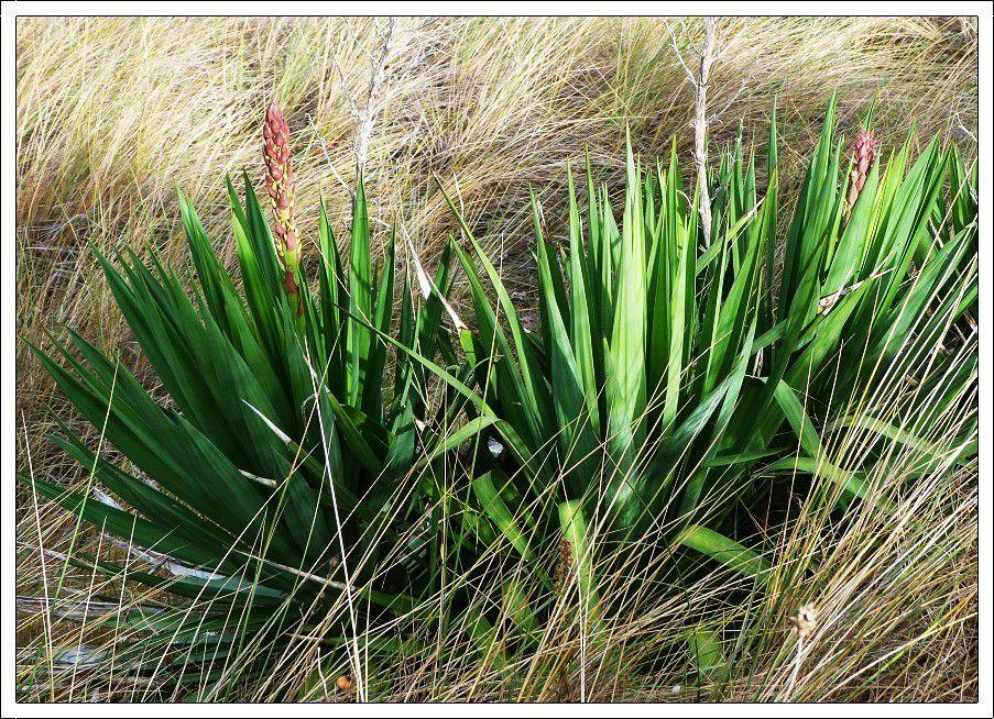 Quelques  plantes  des  dunes  à Tharon
