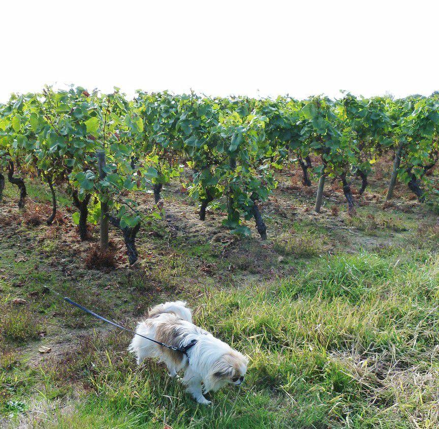 Promenade  près des vignes