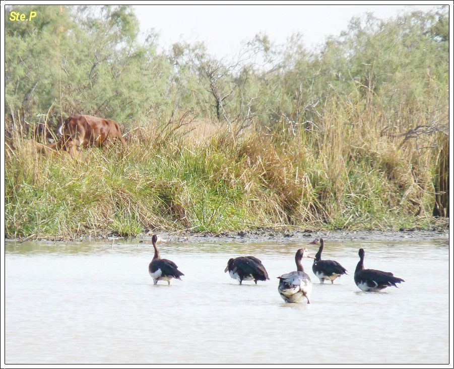 Sénégal : Pélicans , aigles  et  autres  volatiles !