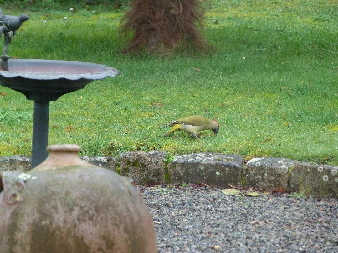 Une  jolie  visite  au jardin : Le  pic vert !