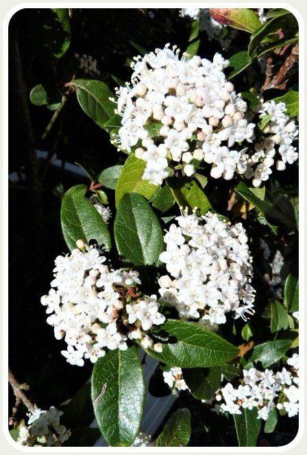 Les  fleurs  blanches  du jardin !