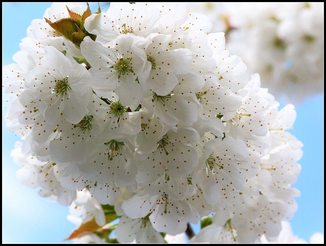 Un cerisier  prometteur  mais  ....