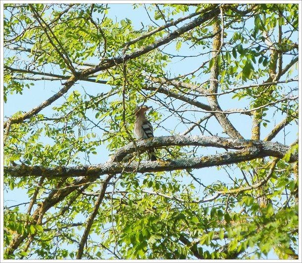Oiseau rare  : la  huppe  fasciée !