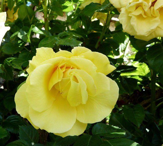 Un mur  de  roses !