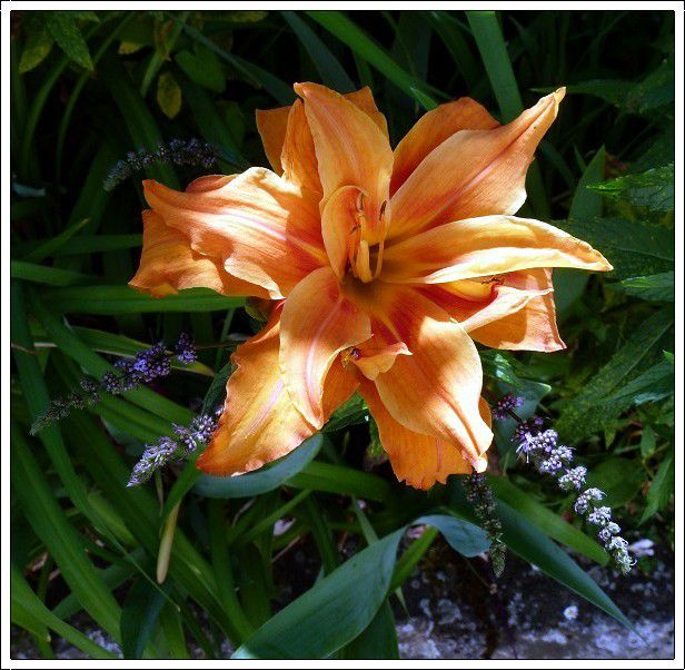 Au jardin ,de  nouvelles  fleurs  sont  apparues !