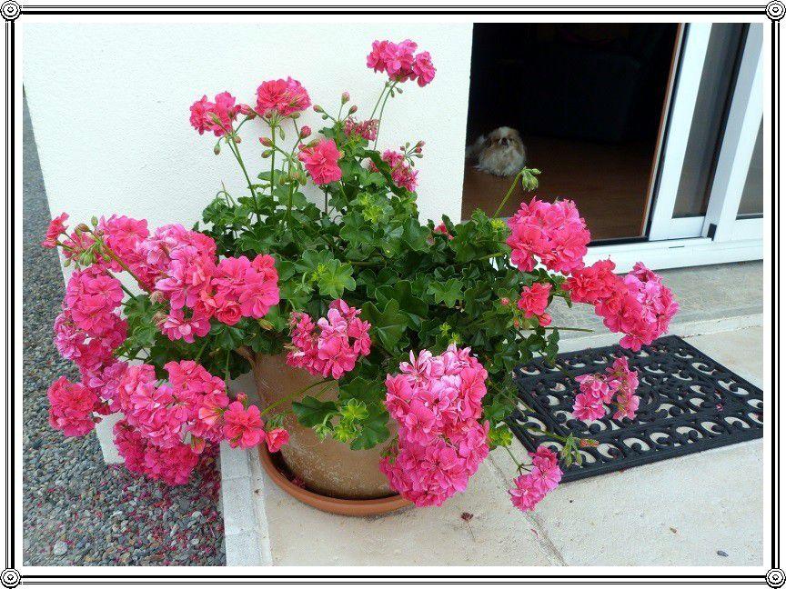 Fleurs en  pot  ... du rose , du rose !!!