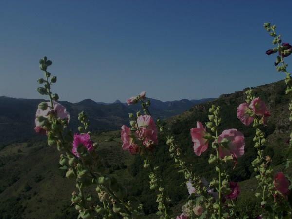 Gilles discute jardinage . Il veut que les roses trémières soient comme à droite, mais ce n'est pas le cas !