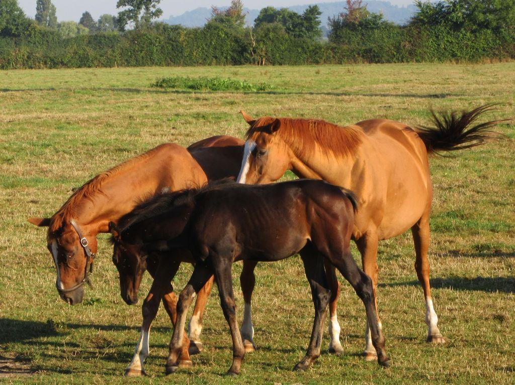 Des chevaux ... beaucoup de chevaux ...