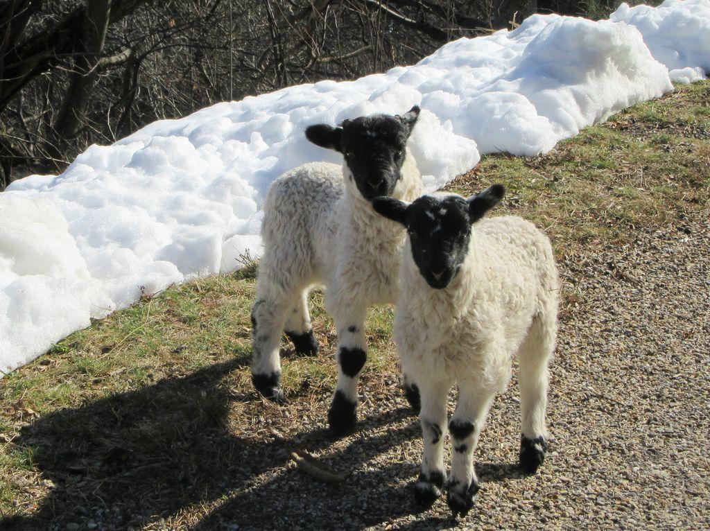 Le bouquetin du Mercantour, la cigogne de ... chez moi, les agneaux de Mézilhac et la vache de Normandie