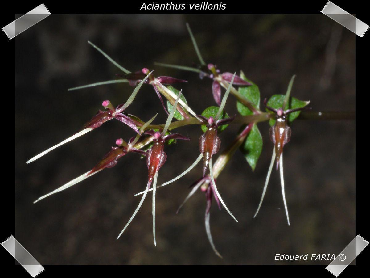 A - C - Album Orchidées de Nouvelle-Calédonie -
