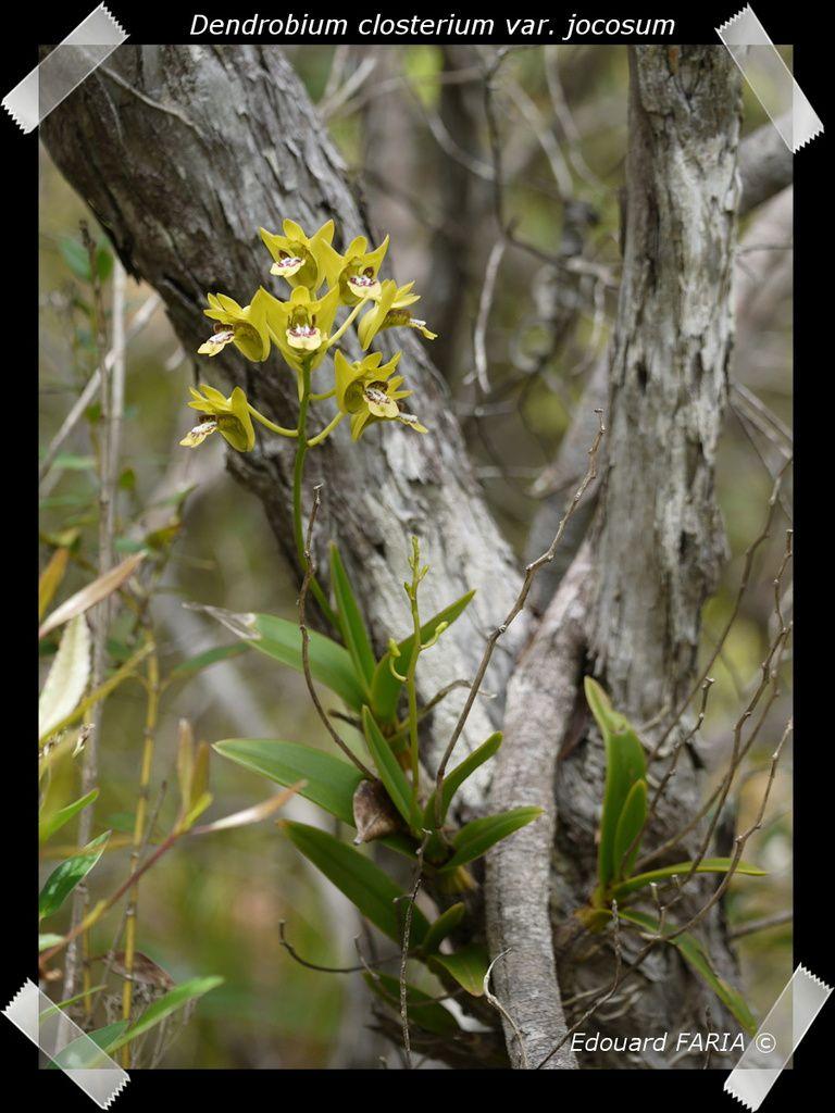 D - F - Album Orchidées de Nouvelle-Calédonie -