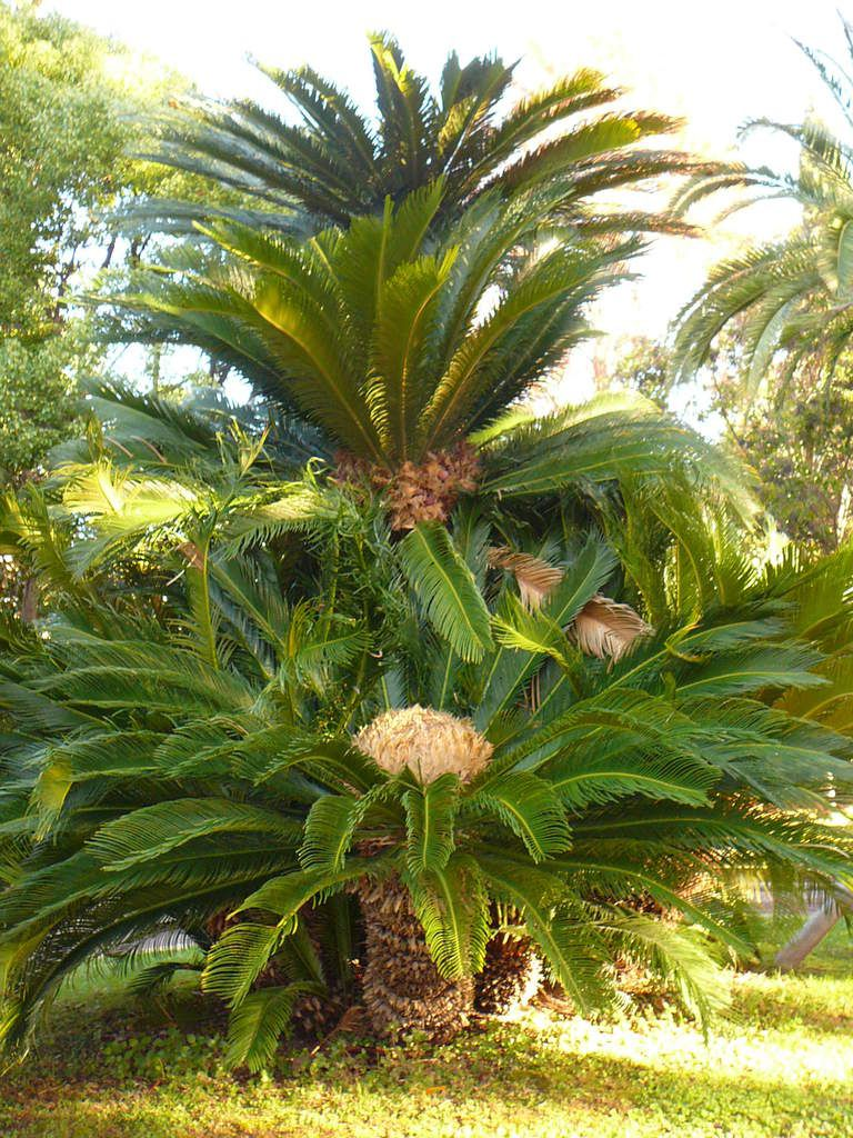 Cycas femelle. Photo MLR.