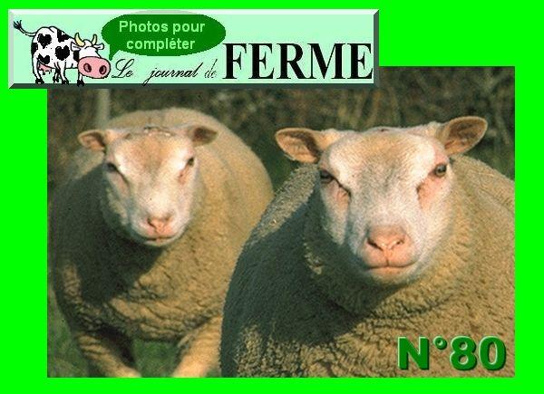 Mouton de la Charmoise