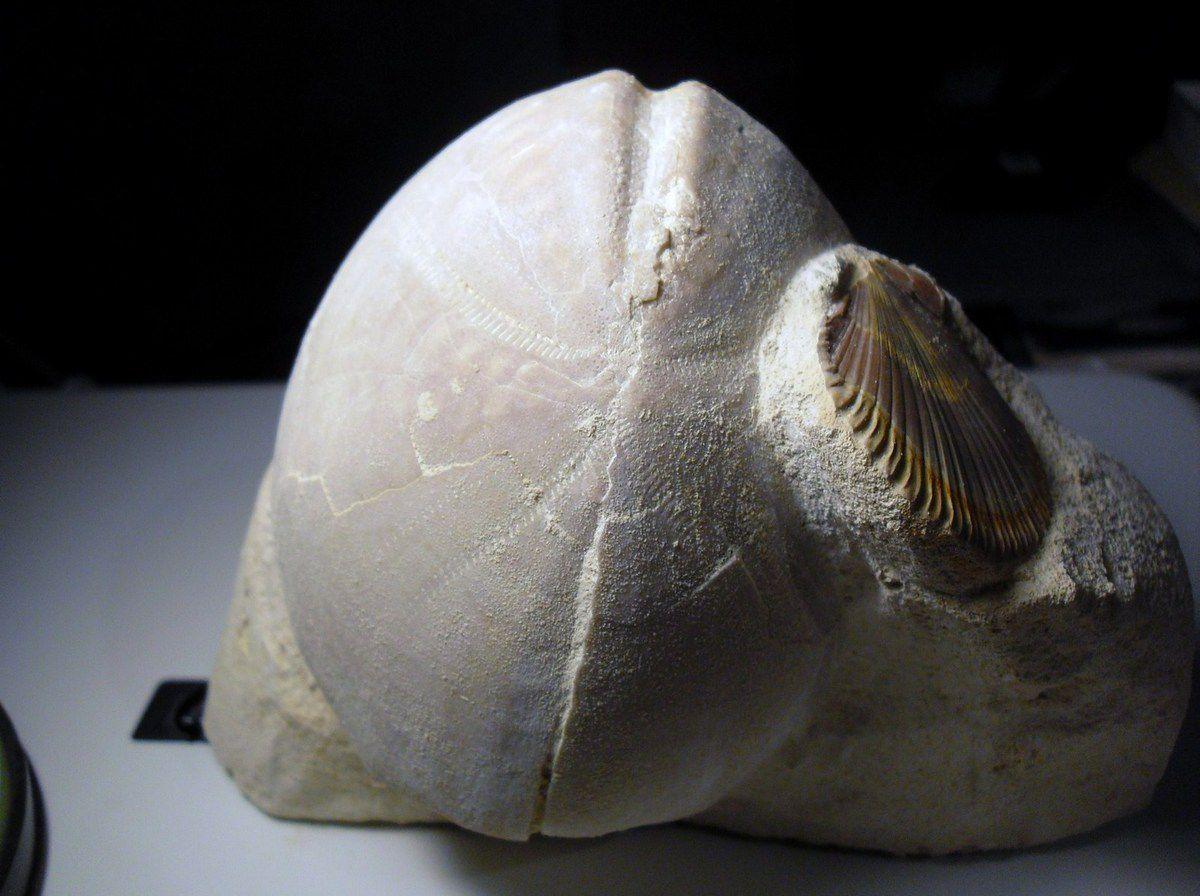 Hemipneuste striatoradiatus