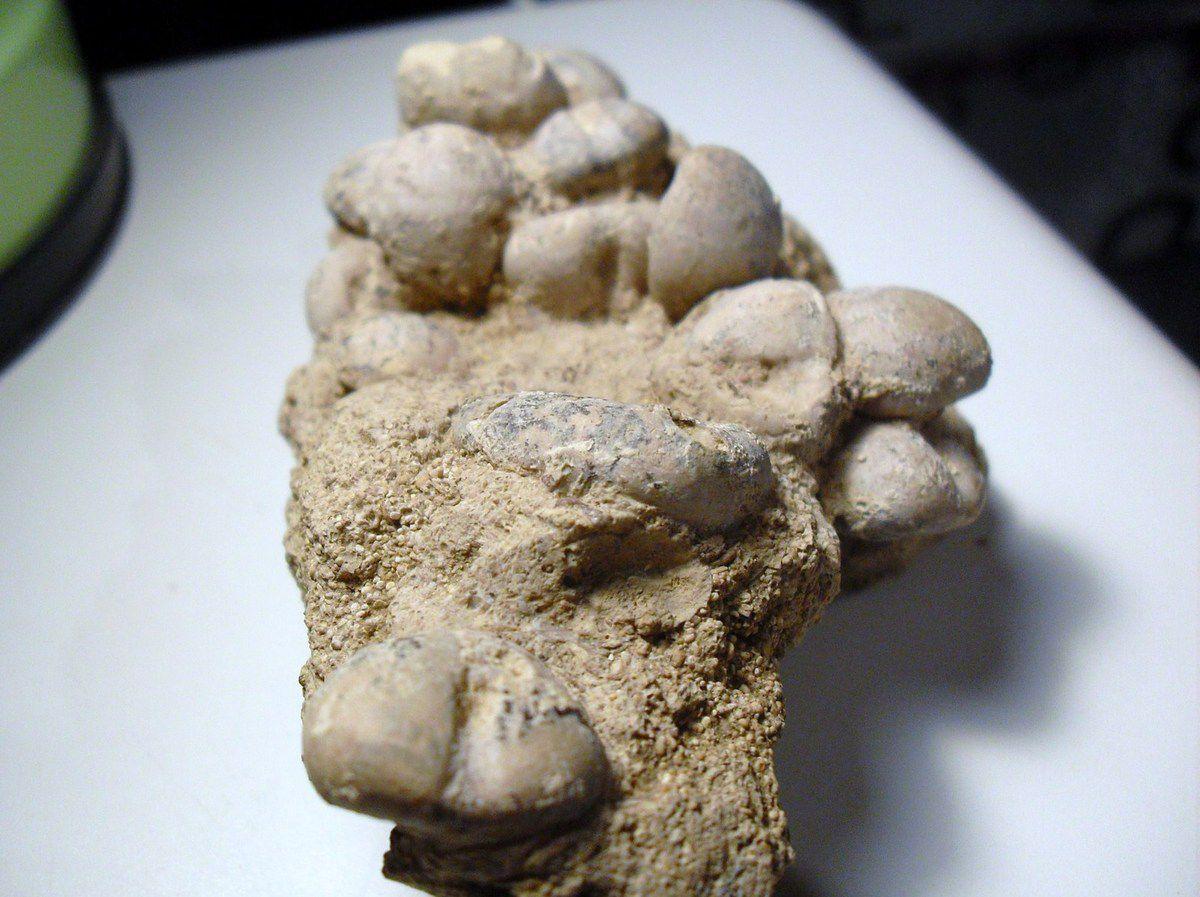 Nucleolites latiporus