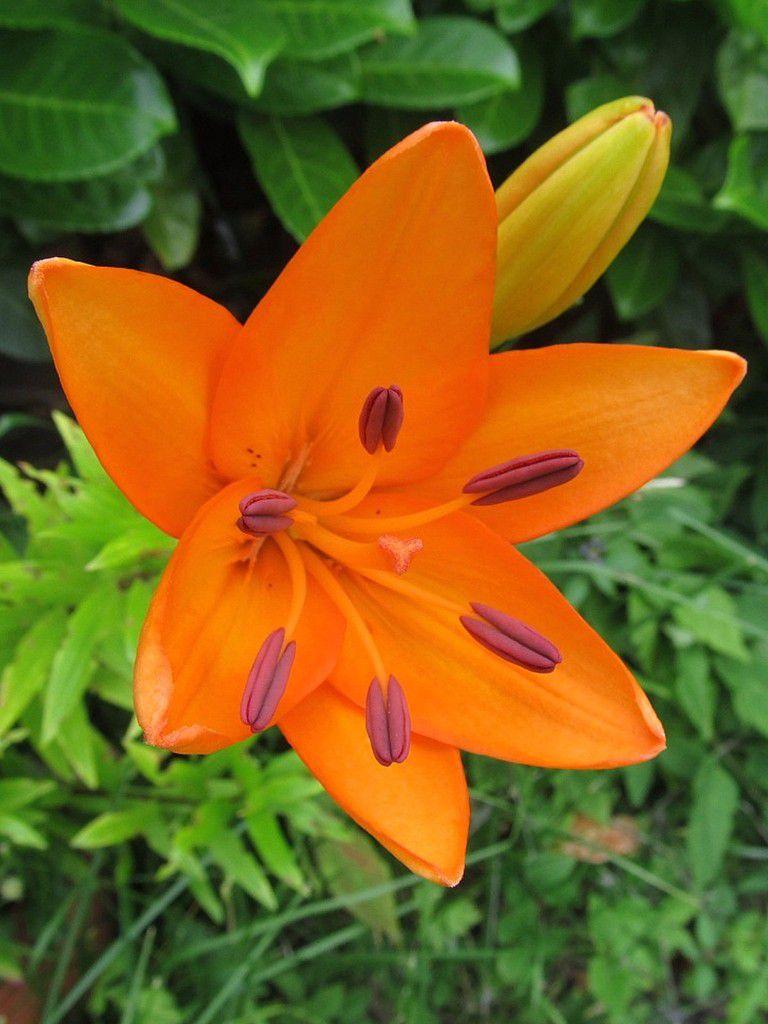 Feuerlilie / aktuelles Foto