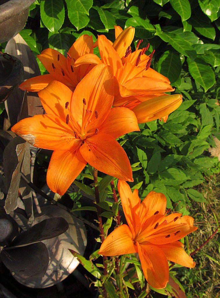 Feuerlilie / Vorjahresfoto