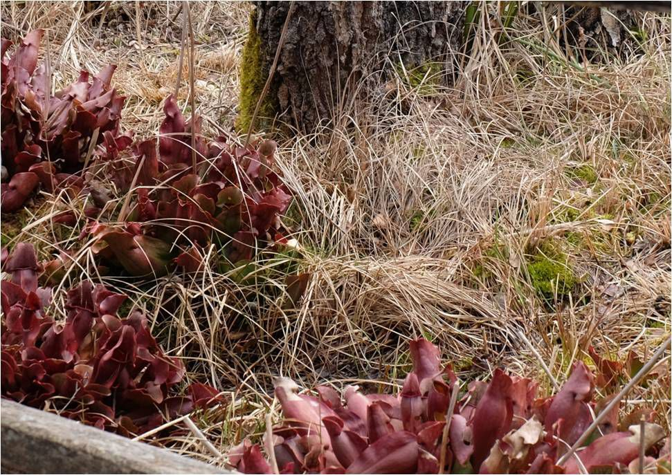 Des plantes carnivores sauvages