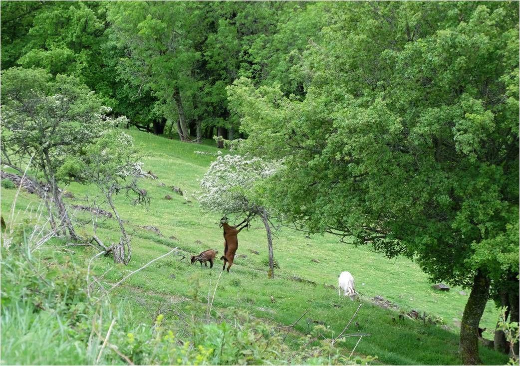 Au pied du château, la chèvre acrobate qui préfère les arbres en fleurs !