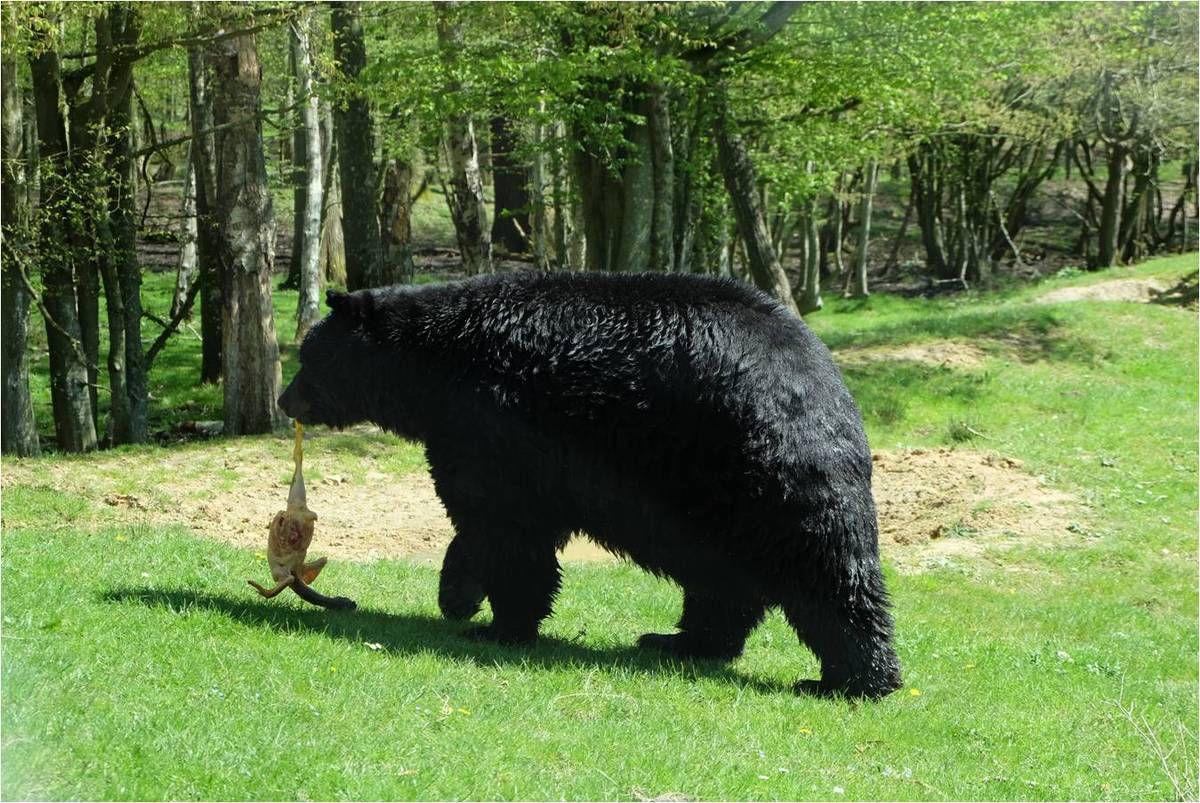 "L'ours qui sort du bain et va prendre son ""goûter"" !"