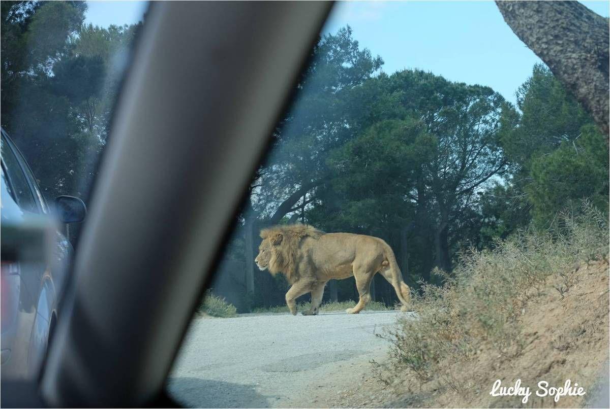 Le lion qui traverse nonchalamment devant la voiture...