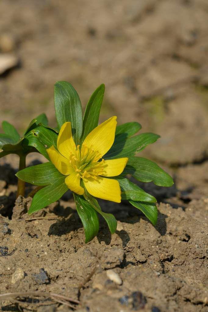 Eranthis hyemalis : une petite vivace bulbeuse jaune ...