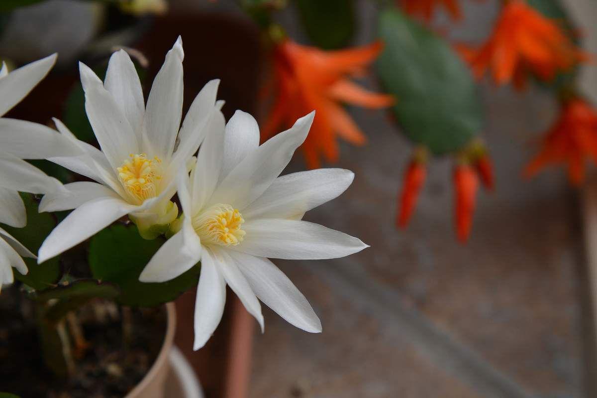 Deux roses et un blanc ...