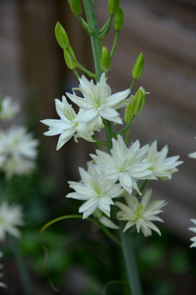 Camassia leichtlinii semiplena : un camassia blanc ...