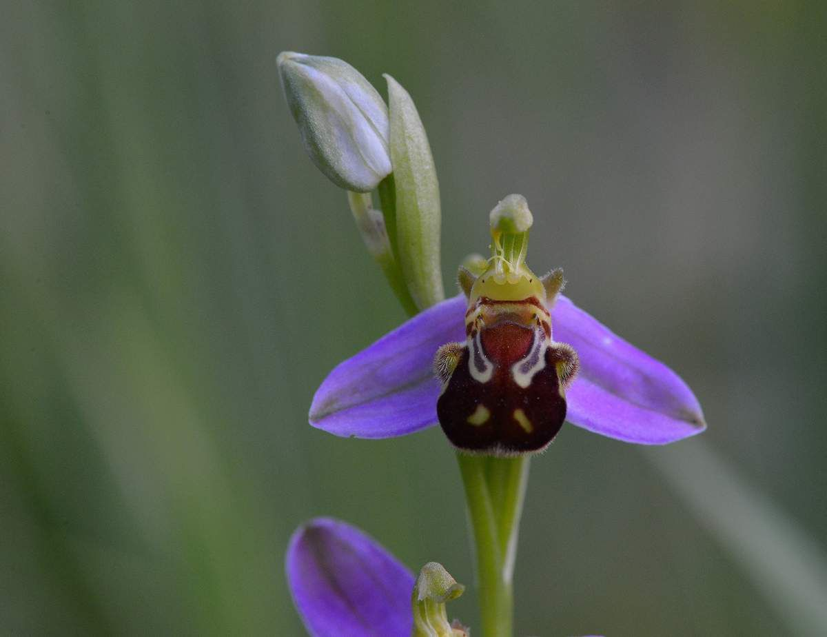 Ophrys apifera : l'Ophrys abeille ...