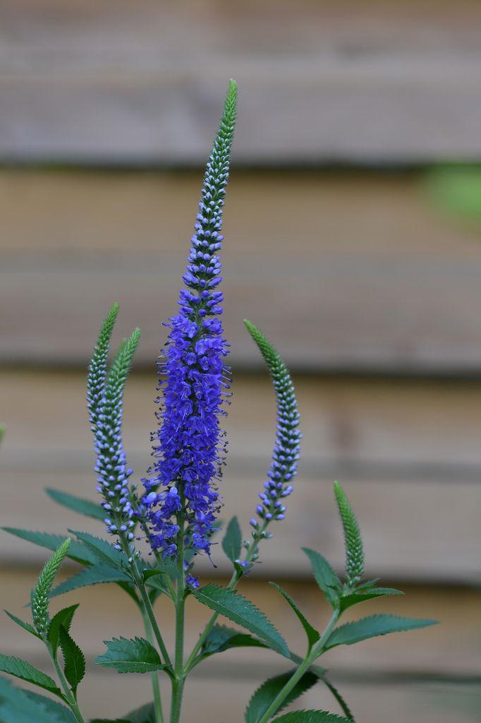 Veronica longifolia Blauriesin ...