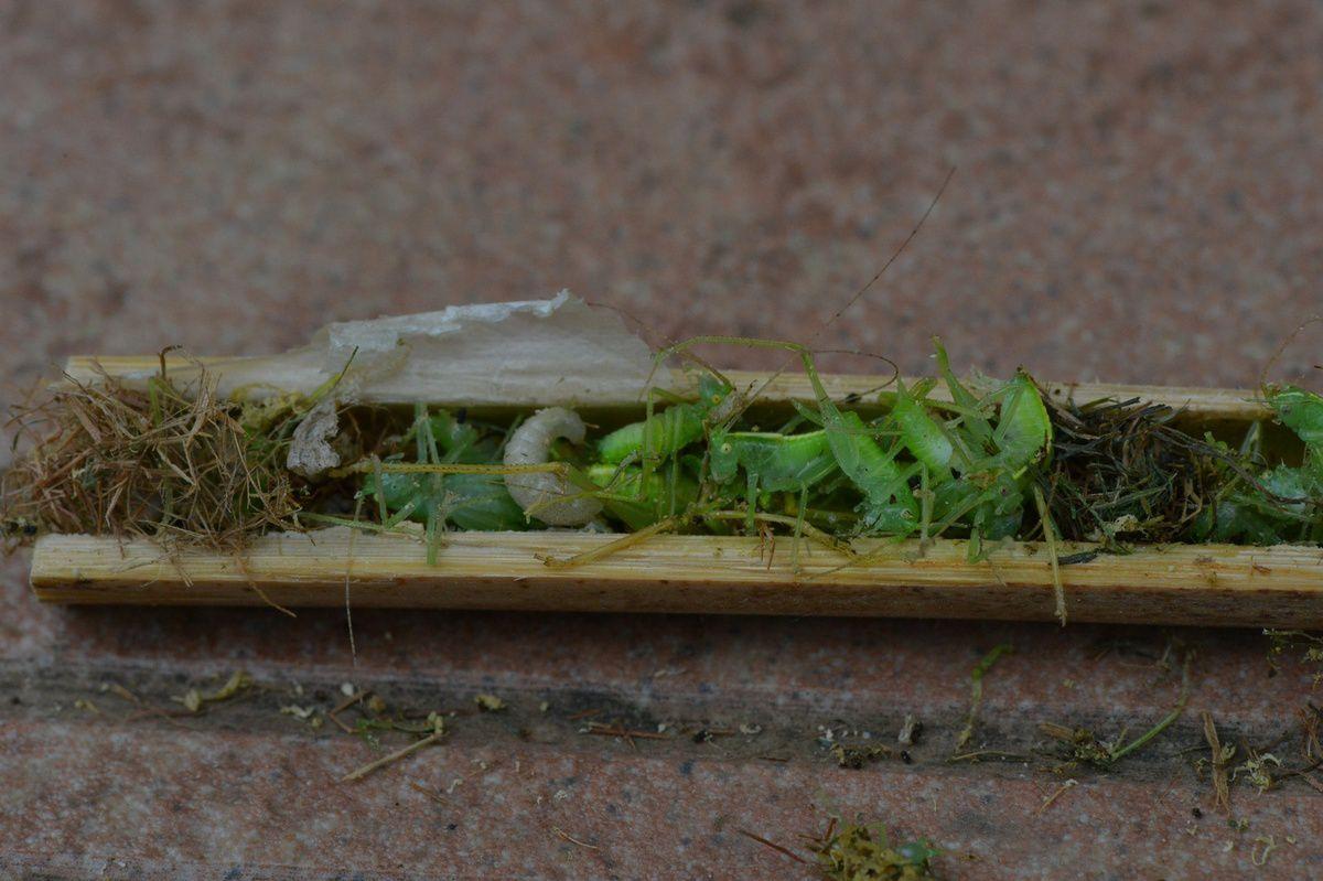 Le bambou de l'horreur : Isondontia mexicana troisième partie ...
