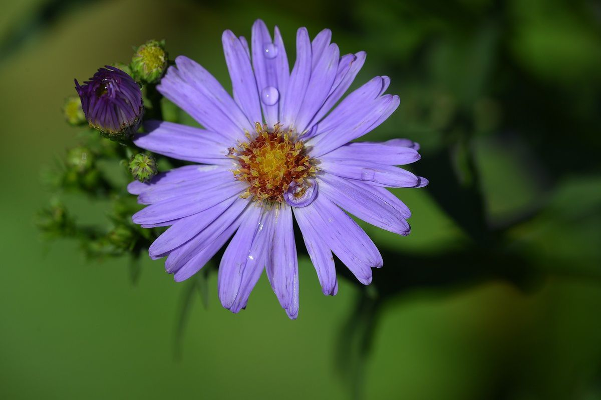 Grands asters d'automne ...
