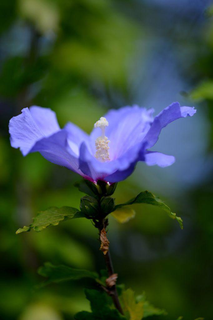 Hibiscus ...