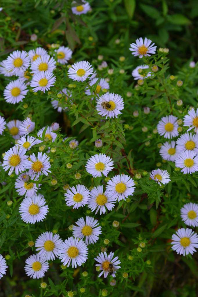 Les asters ...