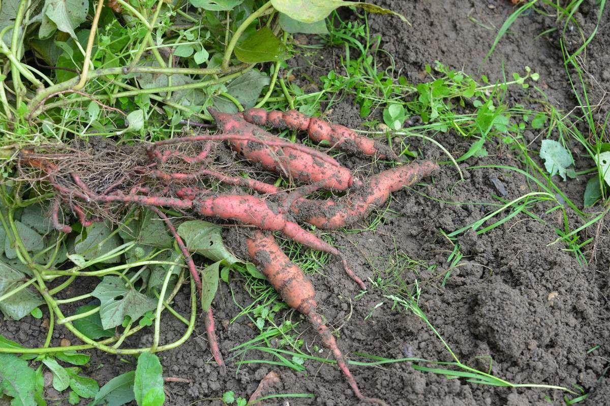 La récolte des patates douces ...