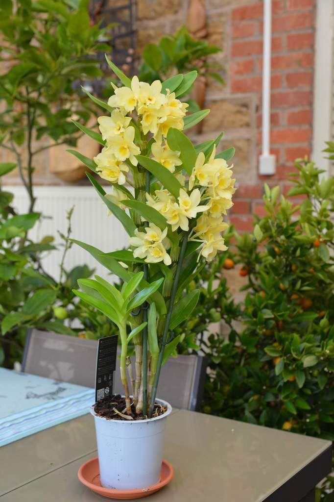 De nouveau un Dendrobium ...