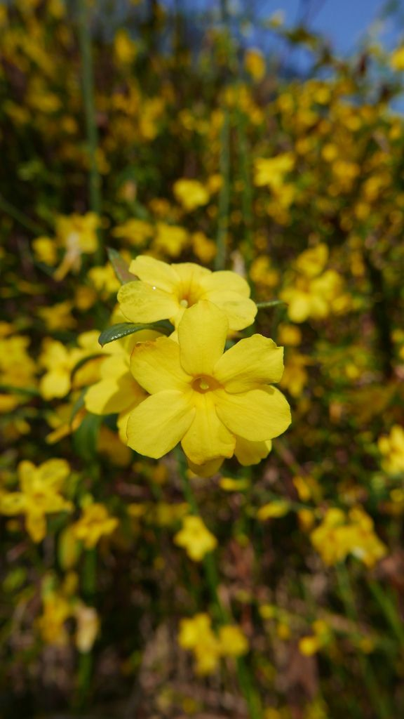 Jasminum nudiflorum ...