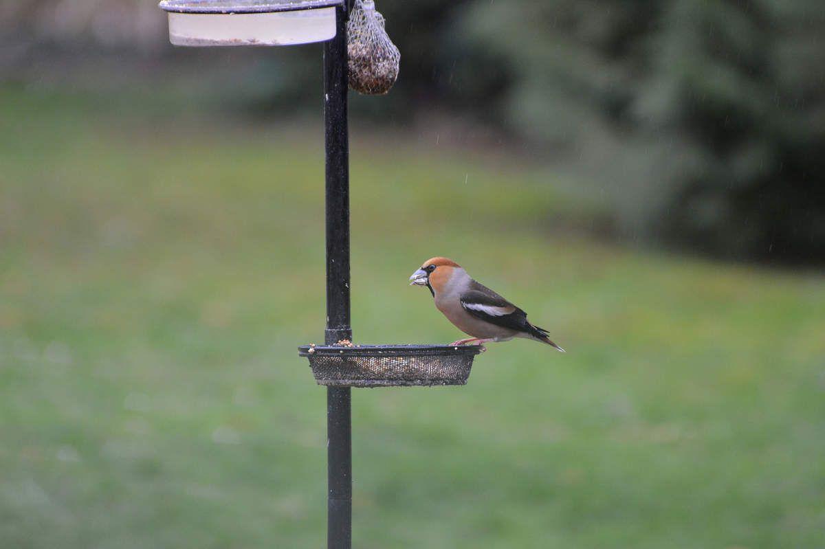 Le gros-bec casse-noyaux , un bel oiseau ...