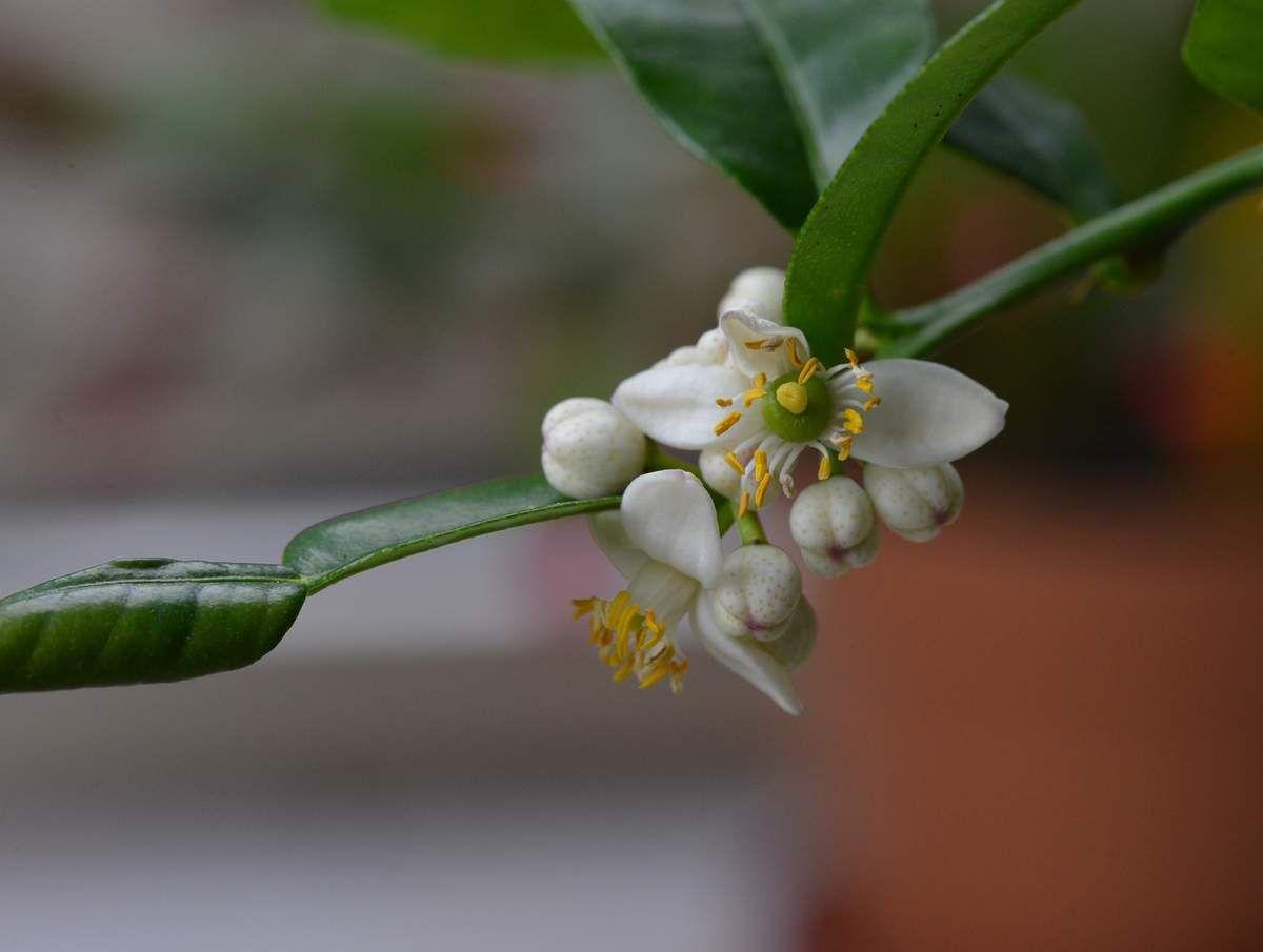 La floraison du combava ...