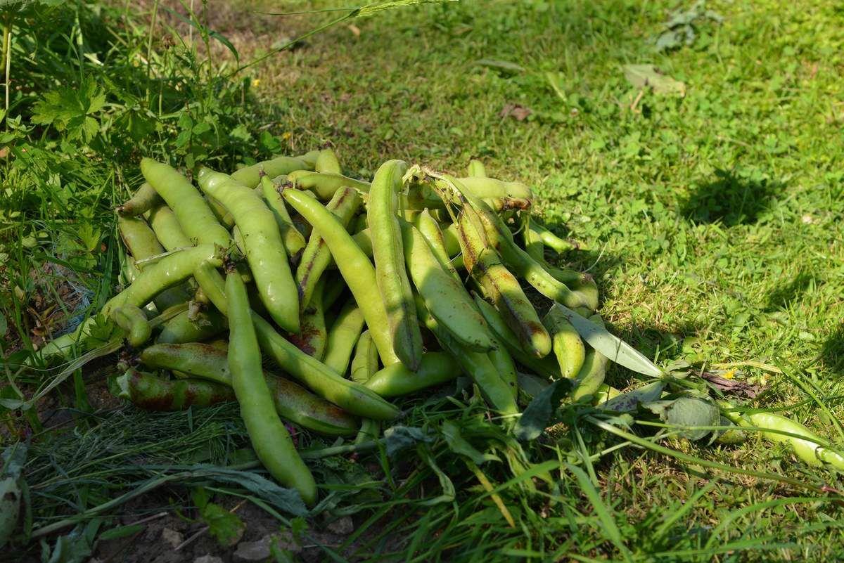 La récolte des fèves ...