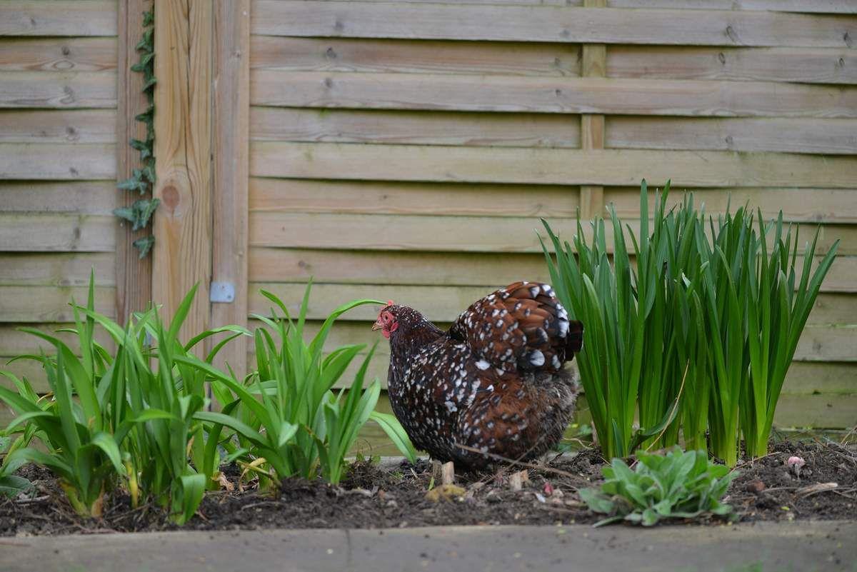 Jardinage à la galinette ...