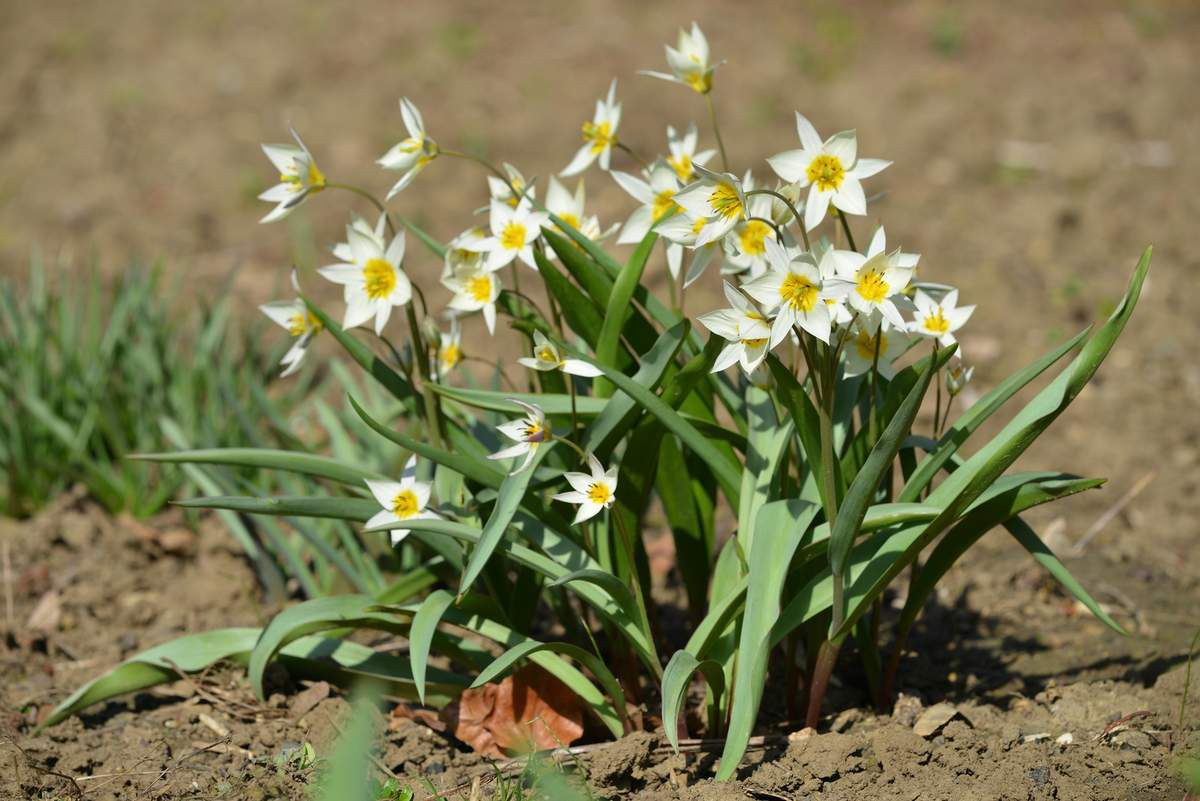 Tulipa turkestanica : la vraie ...