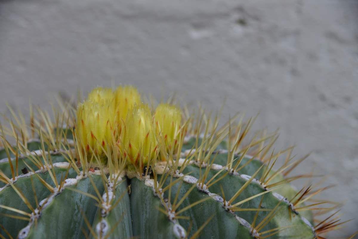 Encore un cactus ...